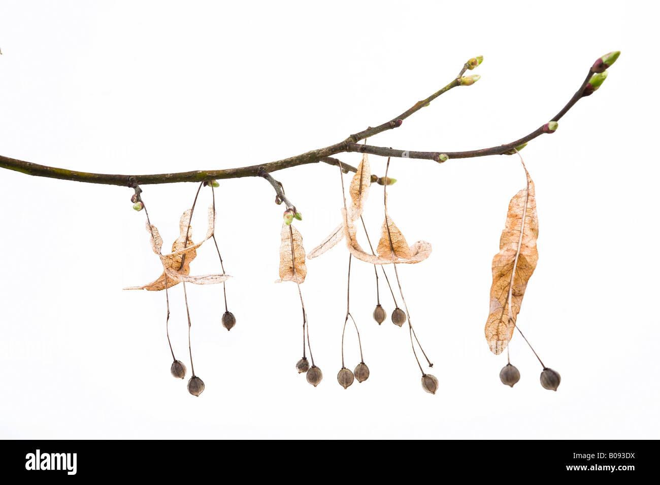 Linden o calce ramo di albero in primavera (Tilia) Immagini Stock
