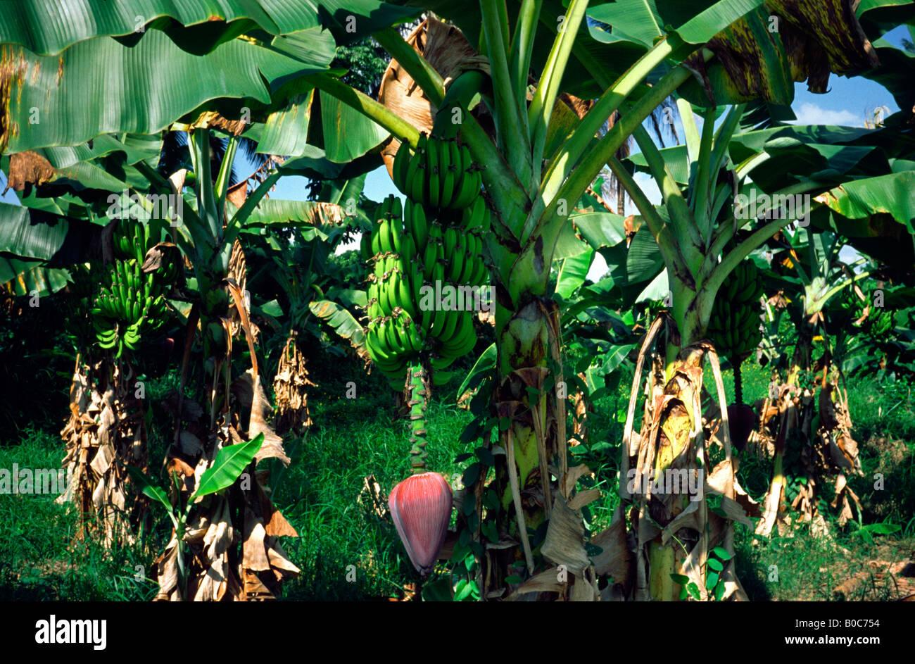 Pianta Di Banana Foto piante di banana in una piantagione vicino la lima in