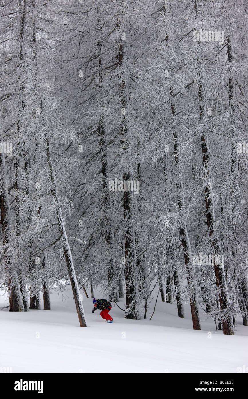 Snowboarder corse fuori pista attraverso alti pini. Immagini Stock