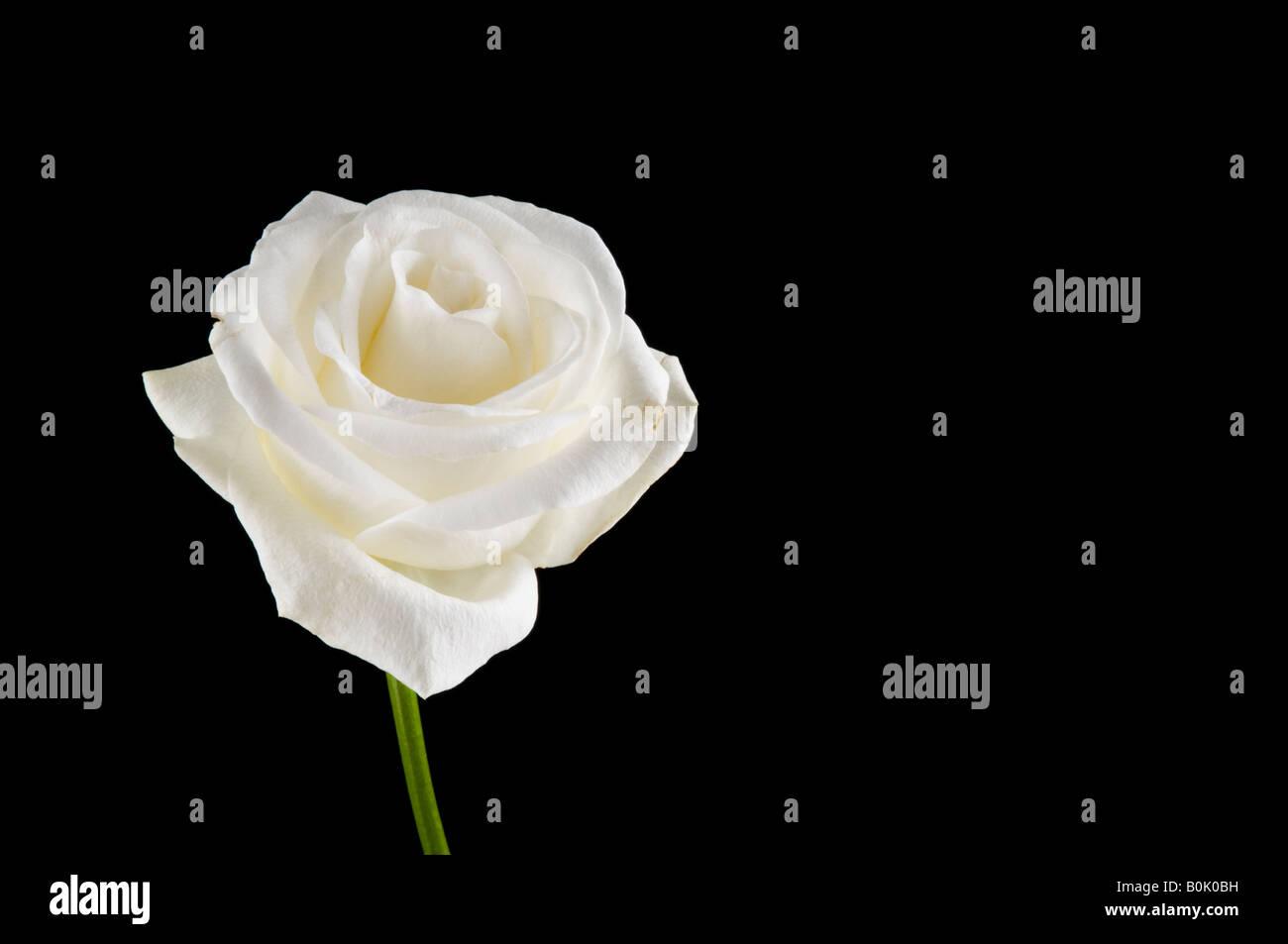 Rosa Bianca Su Sfondo Nero Foto Immagine Stock 17627781 Alamy