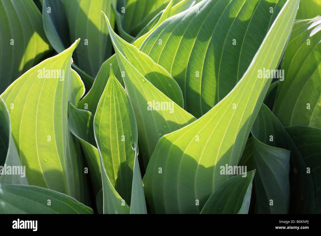 """Hosta lascia """"Piantaggine lily' vicino, foglie verdi con vene distinte. Immagini Stock"""
