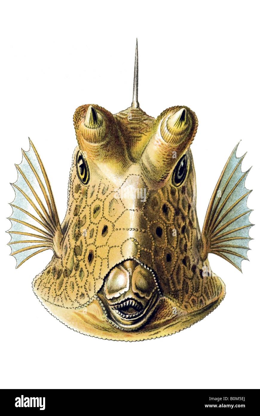 Ostraciontes Ostraciidae Nome Knochenfische Ostracion cornatus, art nouveau, xx secolo, in Europa Immagini Stock