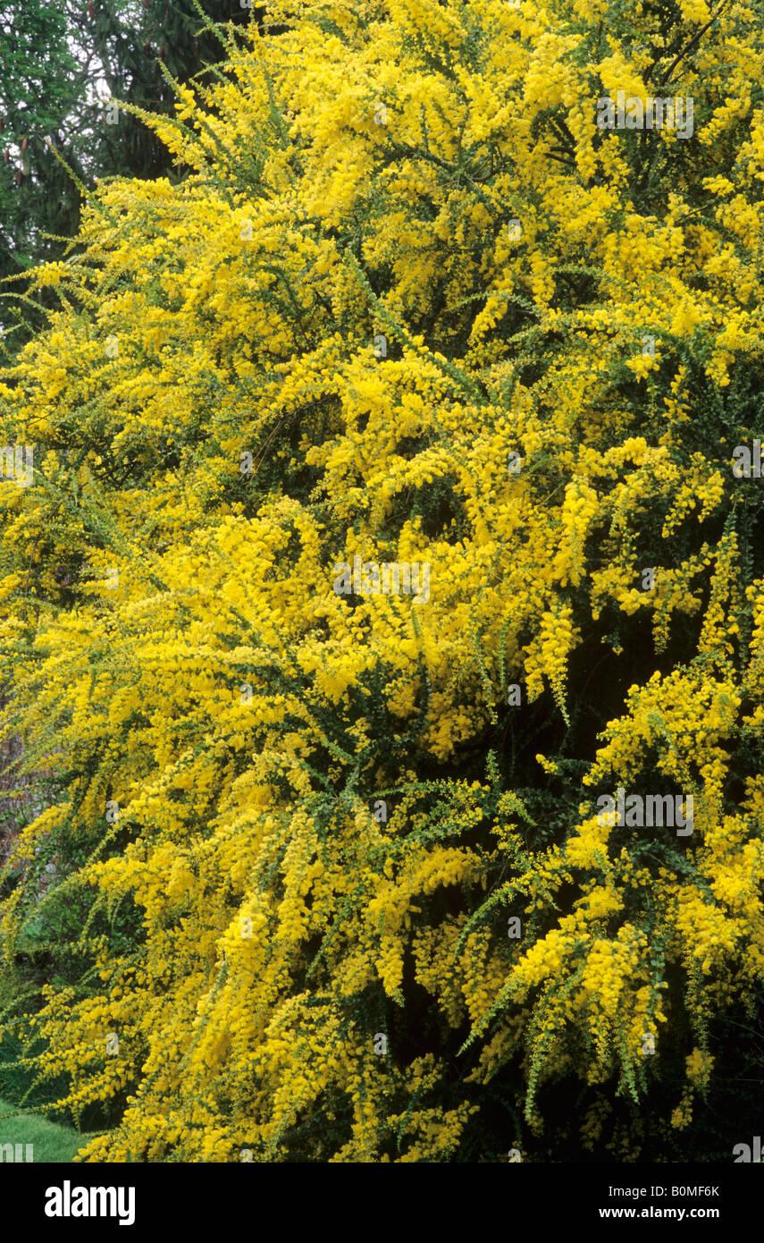 Fiori Gialli Profumati.Acacia Pravissima Aromatici Arbusti Profumati Fiori Gialli Pianta