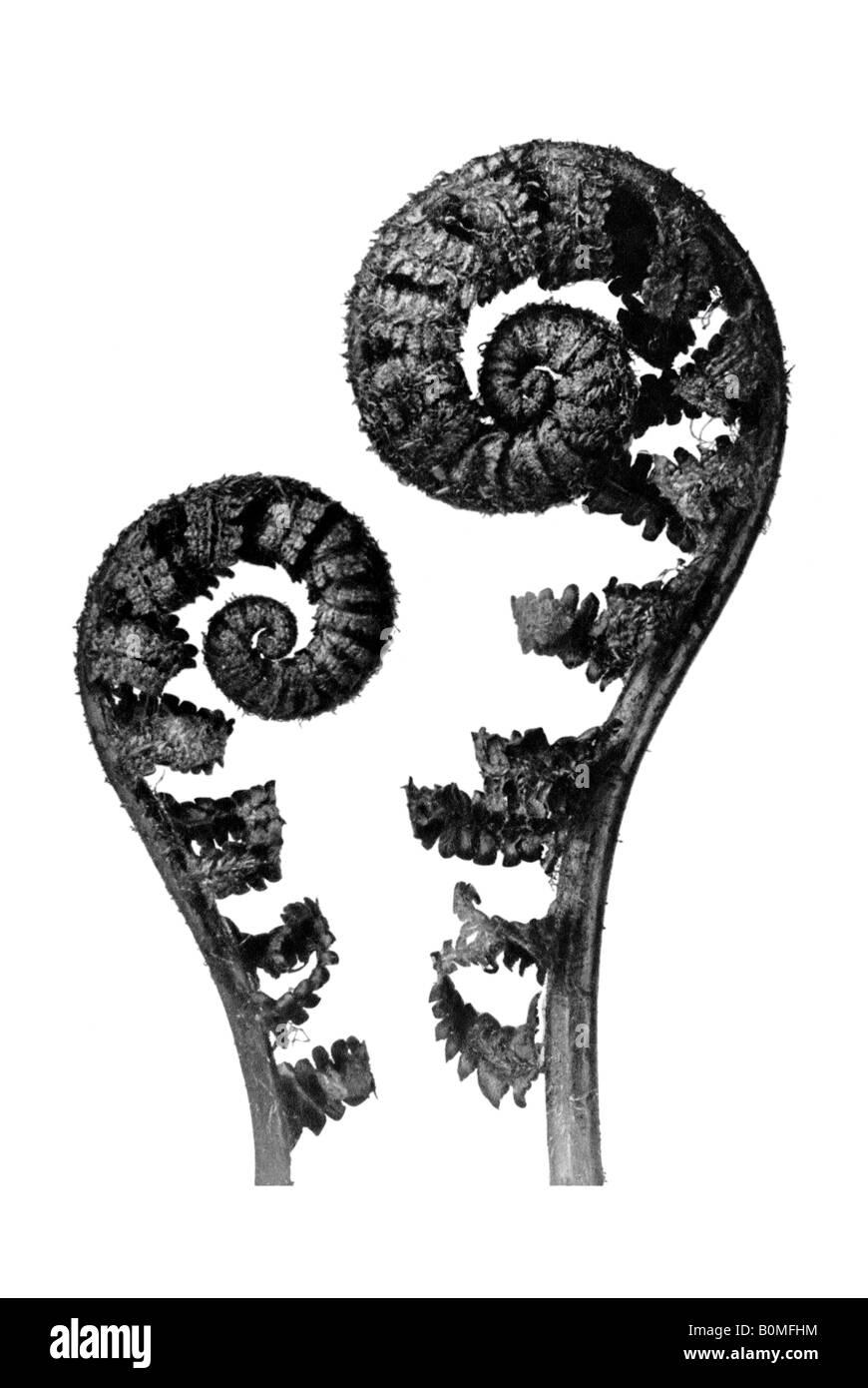 Dryopteris filix mas, Wurmfarn, comune felce maschio Immagini Stock