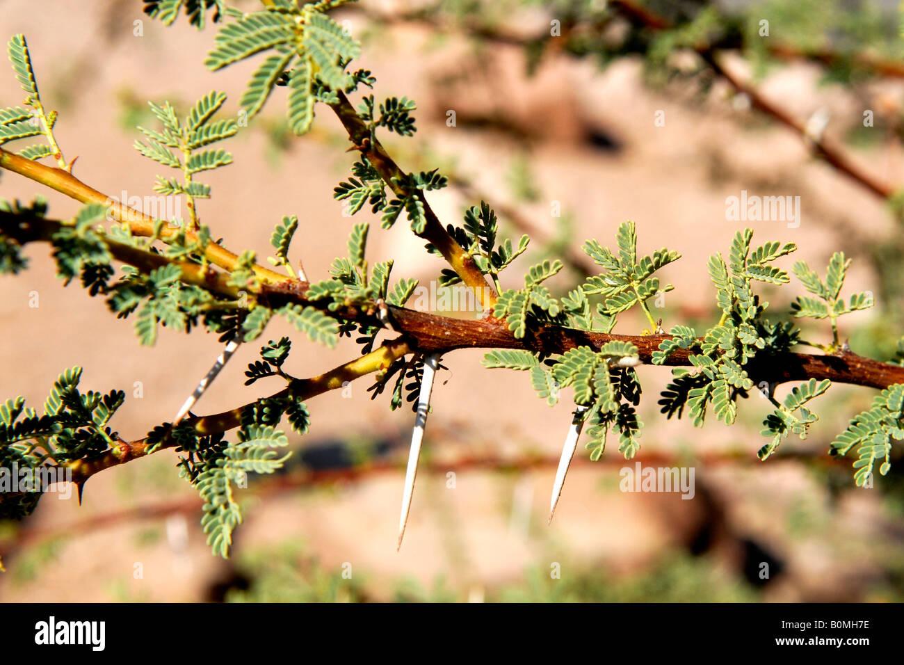 Di timna valley park , nel deserto del Negev , acacia dettaglio con foglie e con le spine del deserto Immagini Stock