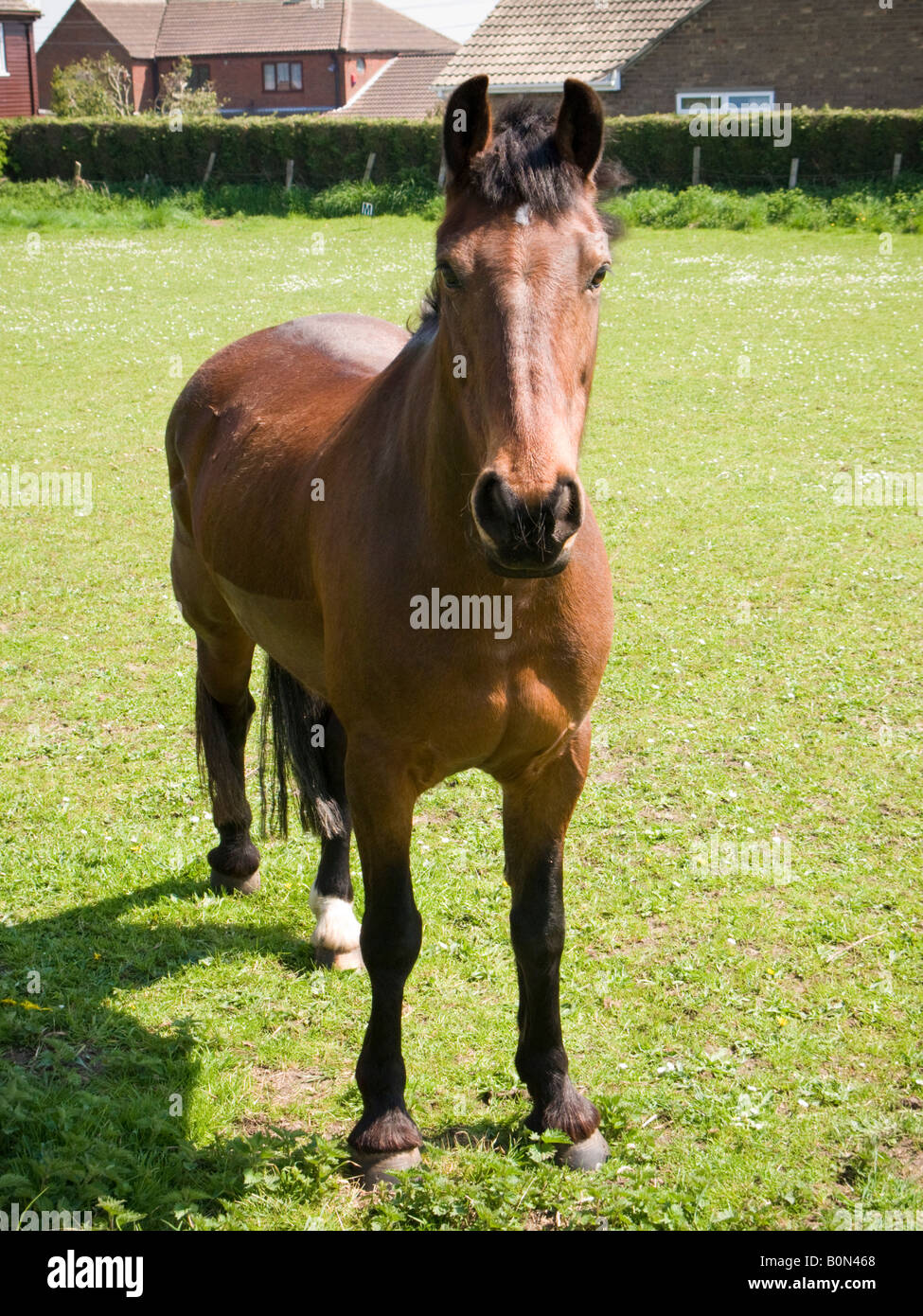 Marrone castagna cavallo in un campo urbano guardando la fotocamera Immagini Stock