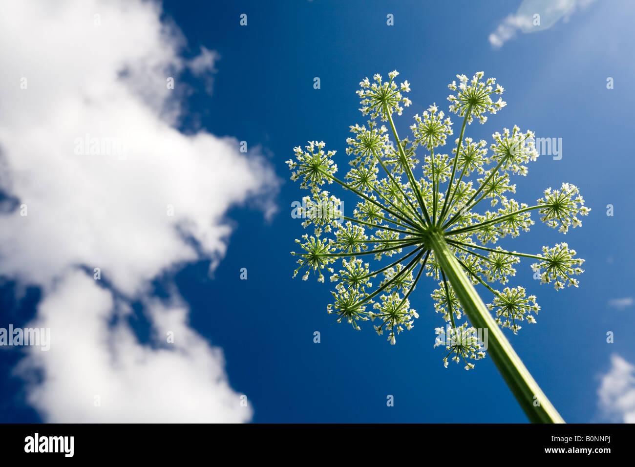 Un giardino in fiore ombrella angelica (Angelica archangelica). Ombelle d'angélique officinale en fleurs, Immagini Stock