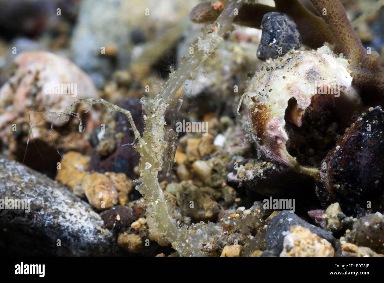 Gamberi di scheletro attaccato al algue sotto l'acqua Immagini Stock