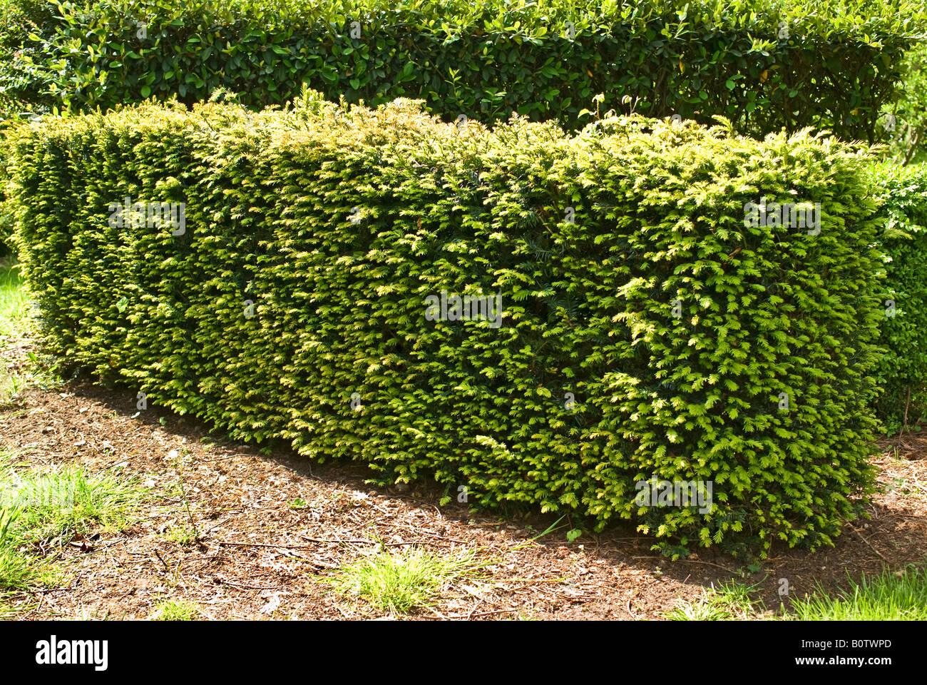 Yew hedge nel Maggio Immagini Stock