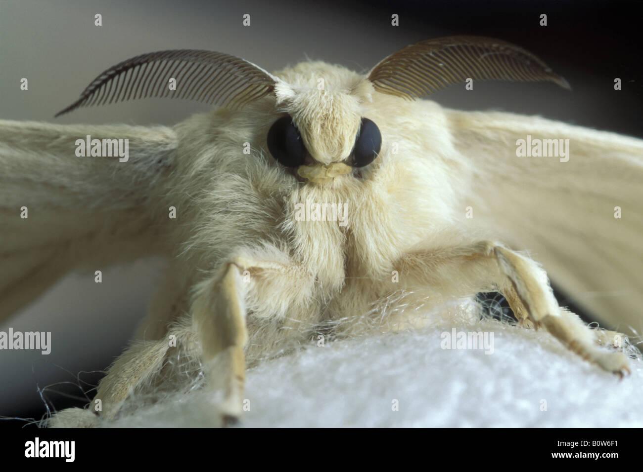 Bombice del gelso baco da seta Bombylius mori insetti Farfalle maschio adulto maschio Parco Regionale della Valle Immagini Stock
