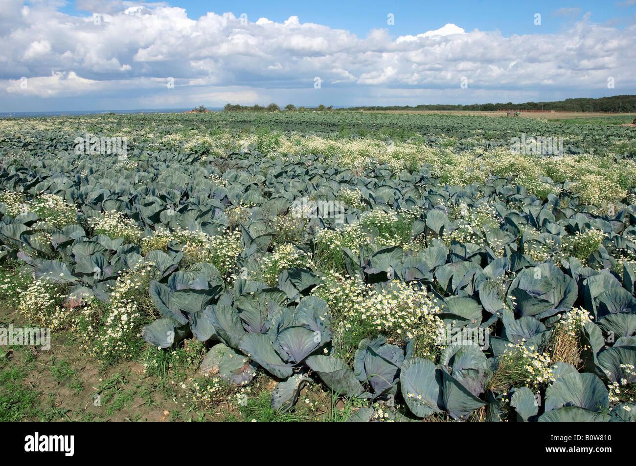 Campo di cavolo rosso o blu Kraut (Brassica oleracea var. rubra) e profumati (Mayweed Matricaria chamomilla, Matricaria Immagini Stock