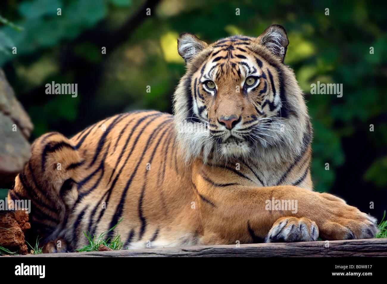 La tigre di Sumatra (Panthera tigris sumatrae) Immagini Stock