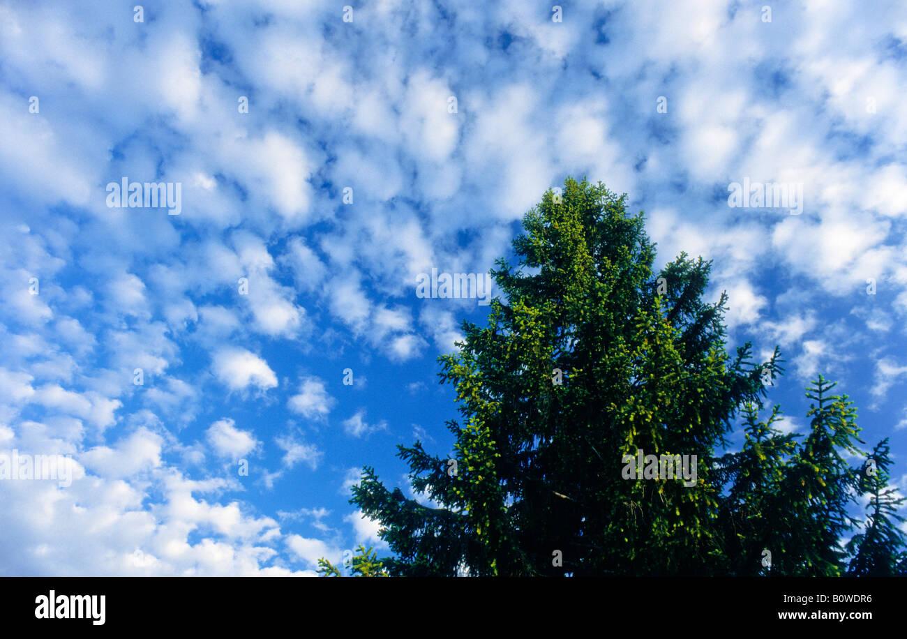 Albero di abete rosso visto dal di sotto, cielo blu con nuvole di piccole dimensioni Immagini Stock