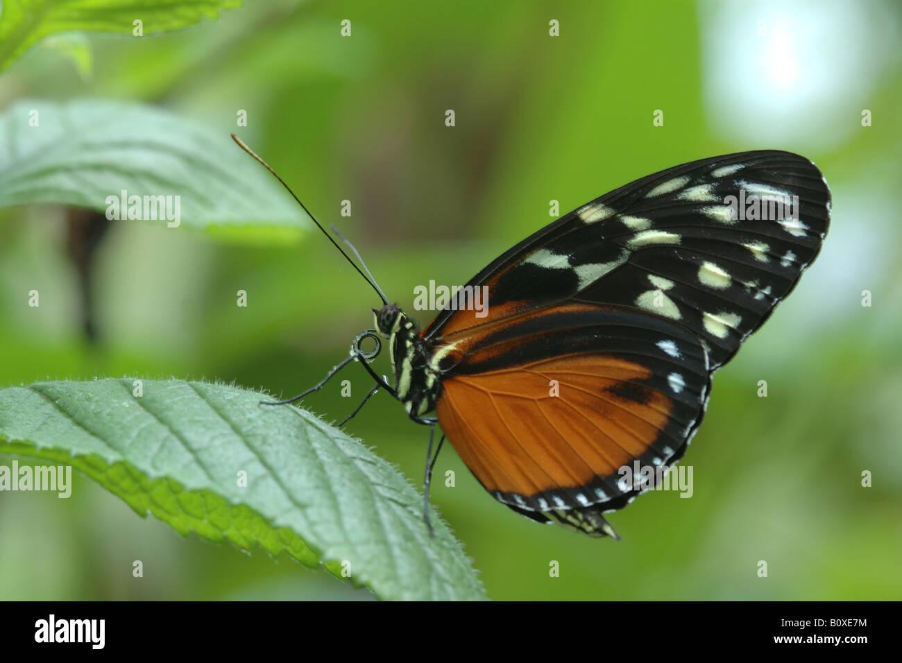 Butterfly Heliconius hecale zuleika insetti tropicali farfalla farfalla tropicale Heliconius eliconidi insetti velenosi Foto Stock