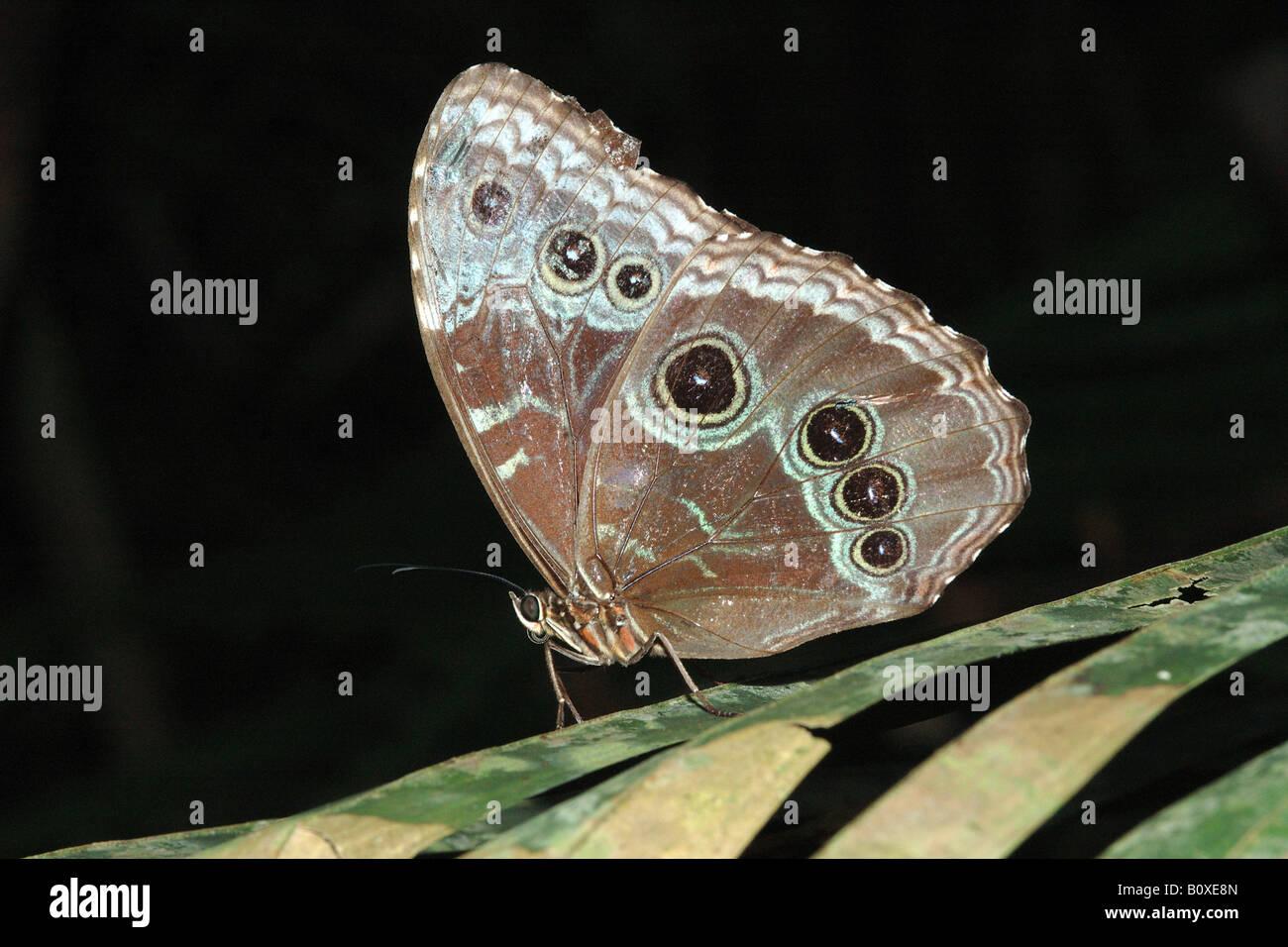 Farfalla tropicale farfalla farfalla tropicale insetti lepidotteri Costarica rain forest foresta pluviale foresta Immagini Stock
