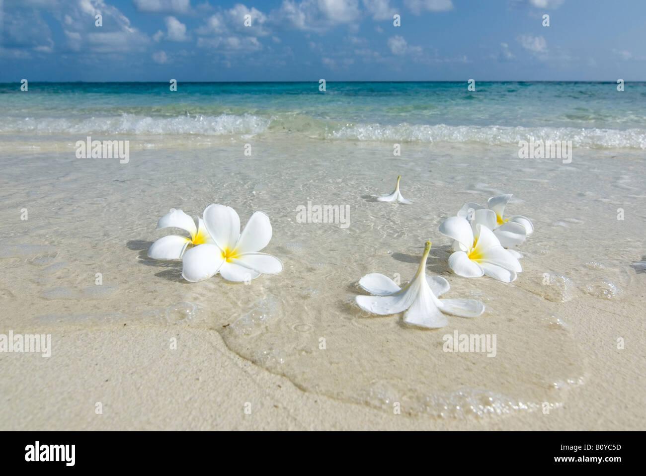 Maledives, Gan, fiori sulla spiaggia Foto Stock