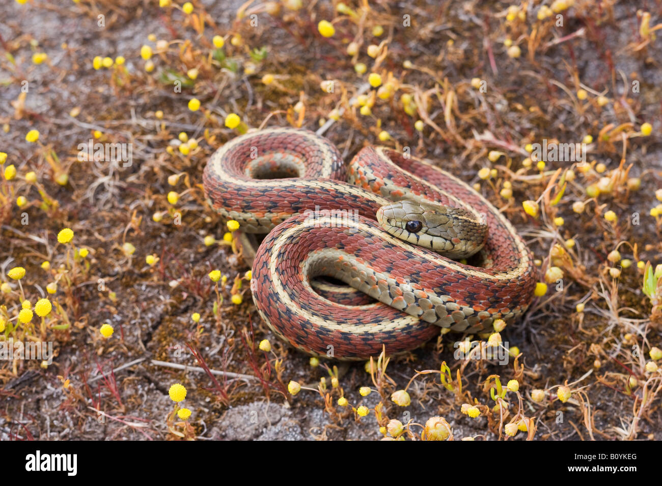 Costa Garter Snake Thamnophis elegans terrestris California Stati Uniti Immagini Stock
