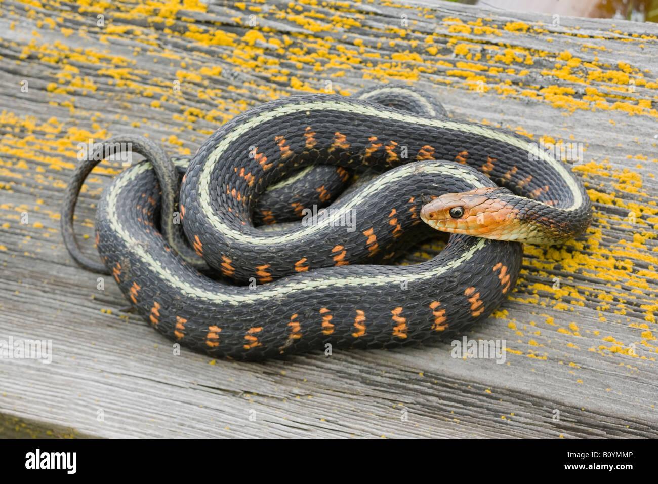 Red spotted Garter Snake Thamnophis sirtalis concinnus Wilamette Valley Oregon negli Stati Uniti Immagini Stock