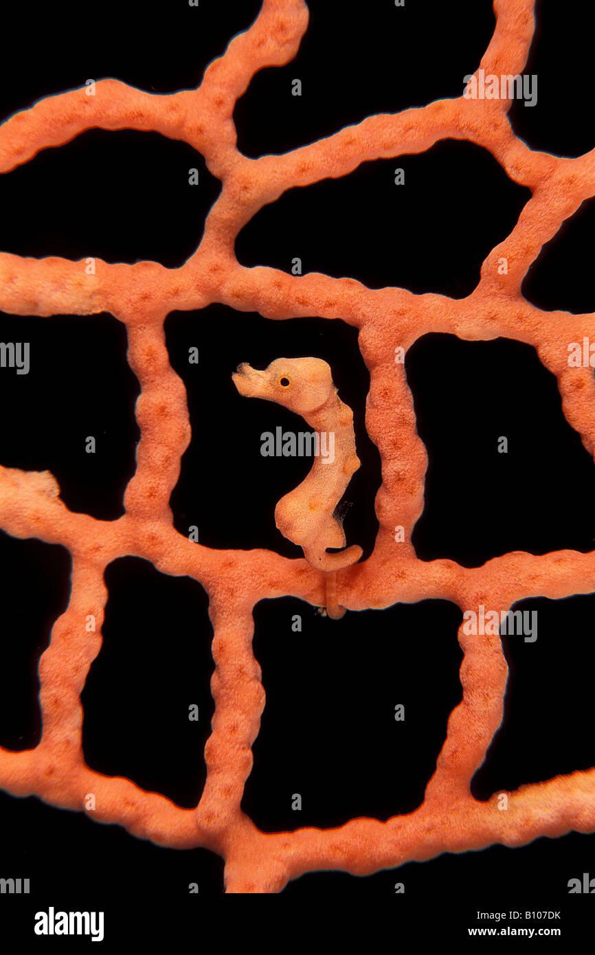 Denise cavalluccio marino pigmeo Hippocampus denise Pacific Papua Nuova Guinea Immagini Stock