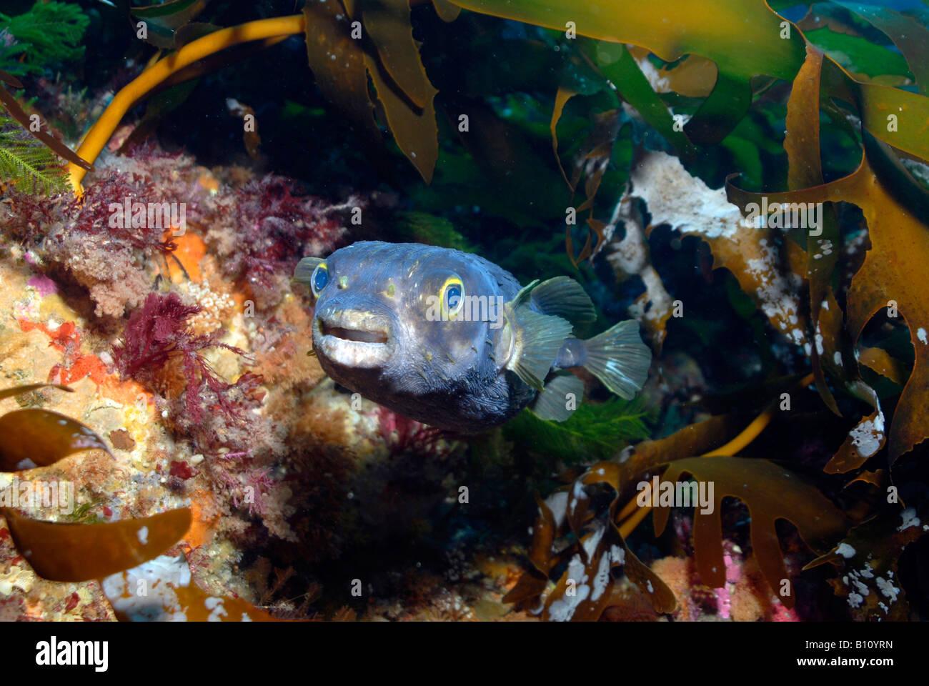 Globefish Porcupinefish Diodon nichthemerus Tasmania Australia Immagini Stock