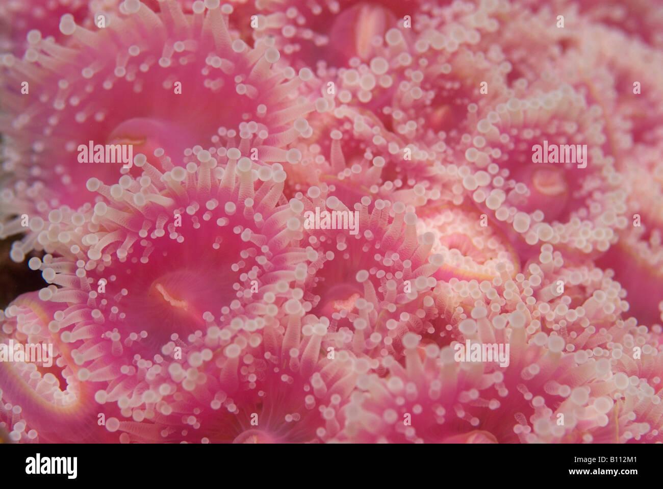 Anemoni gioiello Corynactis australis Tasmania Australia Immagini Stock