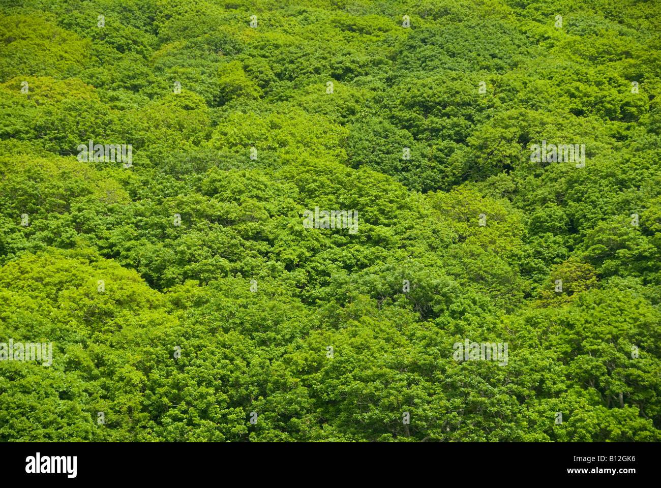 Albero verde baldacchino di alberi di quercia in Gran Bretagna Immagini Stock