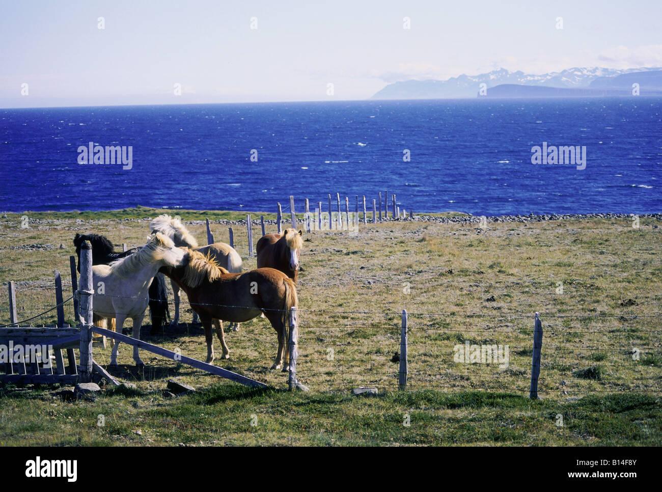 Geografia / viaggi, Islanda, paesaggi, Hrutafoerdur Fjord, islandese cavalli su willow, Additional-Rights-Clearance Immagini Stock
