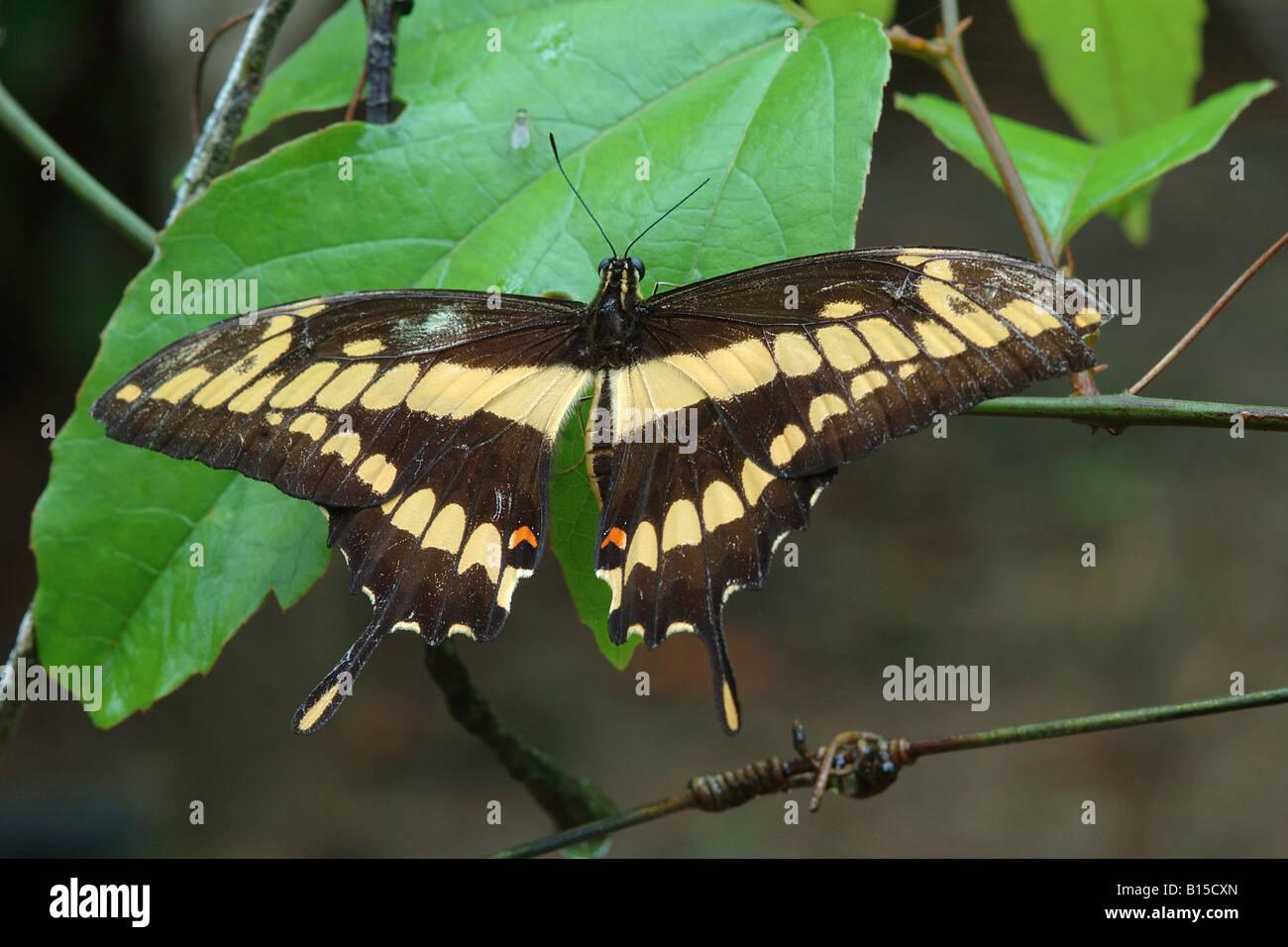 Heraclides papilionide thoas lepidotteri Hacienda Barù Dominical Costarica rain forest foresta pluviale foresta Immagini Stock