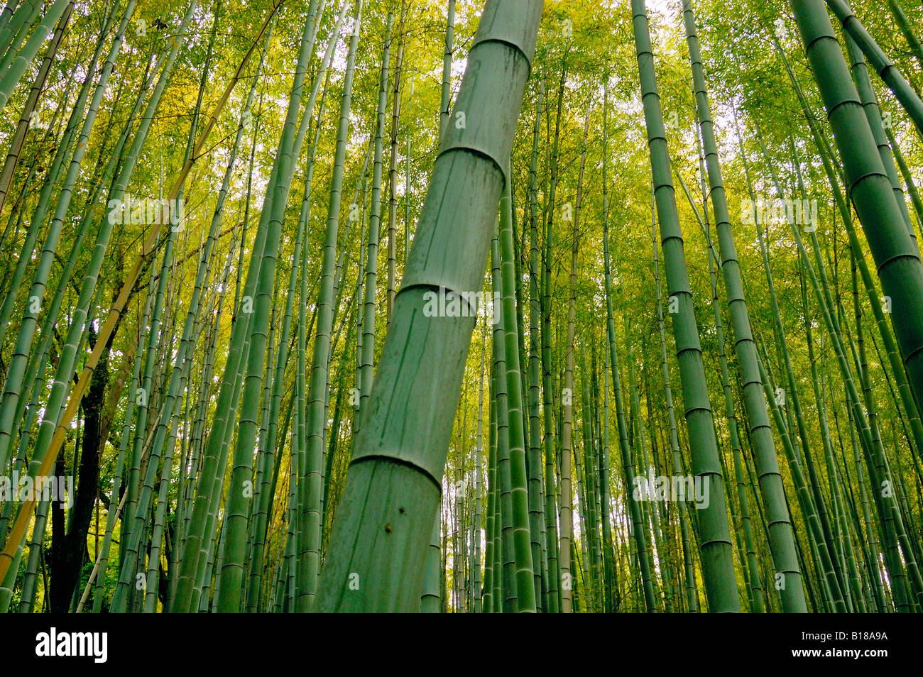 Foresta di bamboo Kyoto in Giappone Immagini Stock