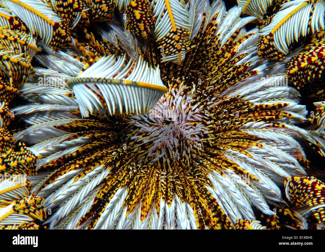 Bocca di Crinoide Crinoidea Mindoro Filippine Immagini Stock