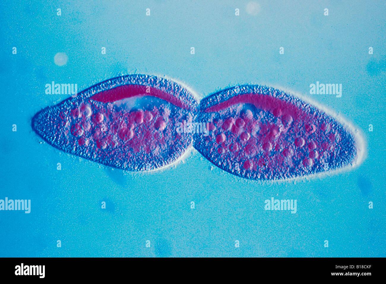 Divisione paramecio sotto microscopio ottico Immagini Stock