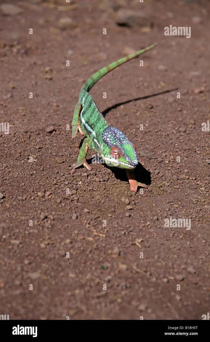Chameleon sulla strada per Montagne d'Ambre Parco Nazionale, Diego Suarez, Antsiranana Madagascar settentrionale Immagini Stock