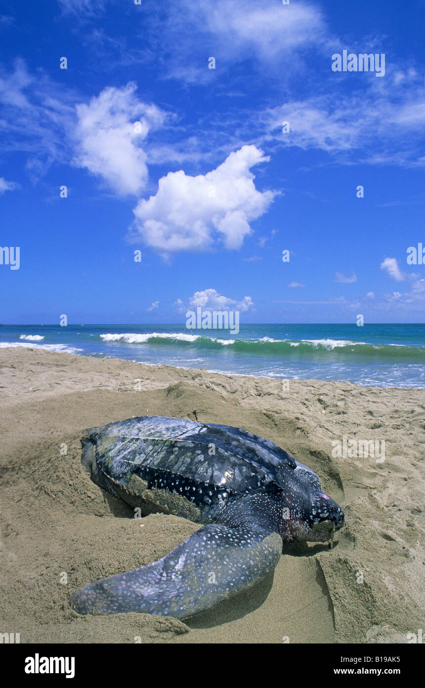 Liuto femmina tartaruga di mare (Dermochelys coriacea) lo scavo di una fossa di corpo in anticipo di posa le sue Immagini Stock