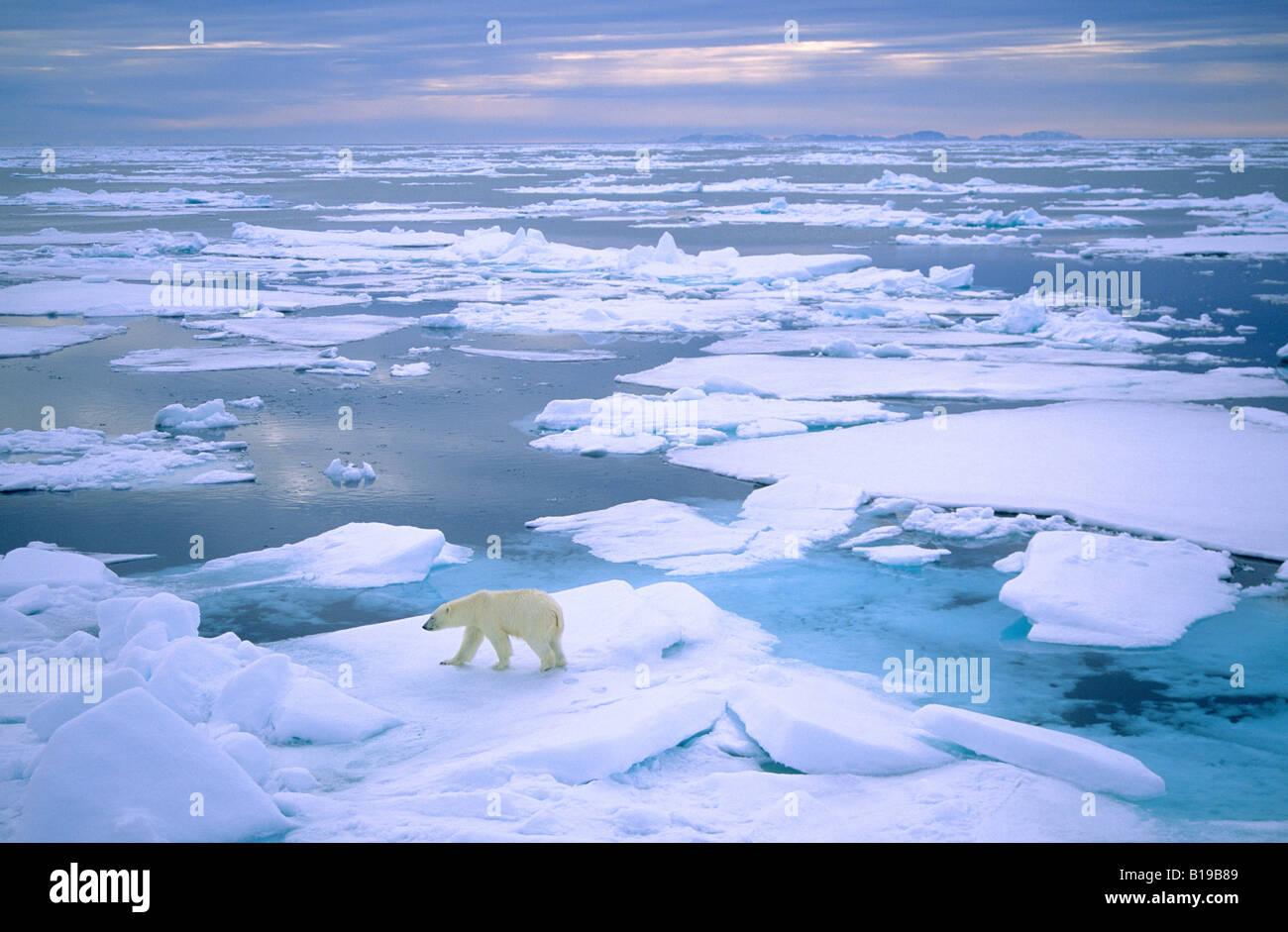 Adulto di orso polare (Ursus maritimus) caccia sulla banchisa. Svalbard, Norvegia. Immagini Stock