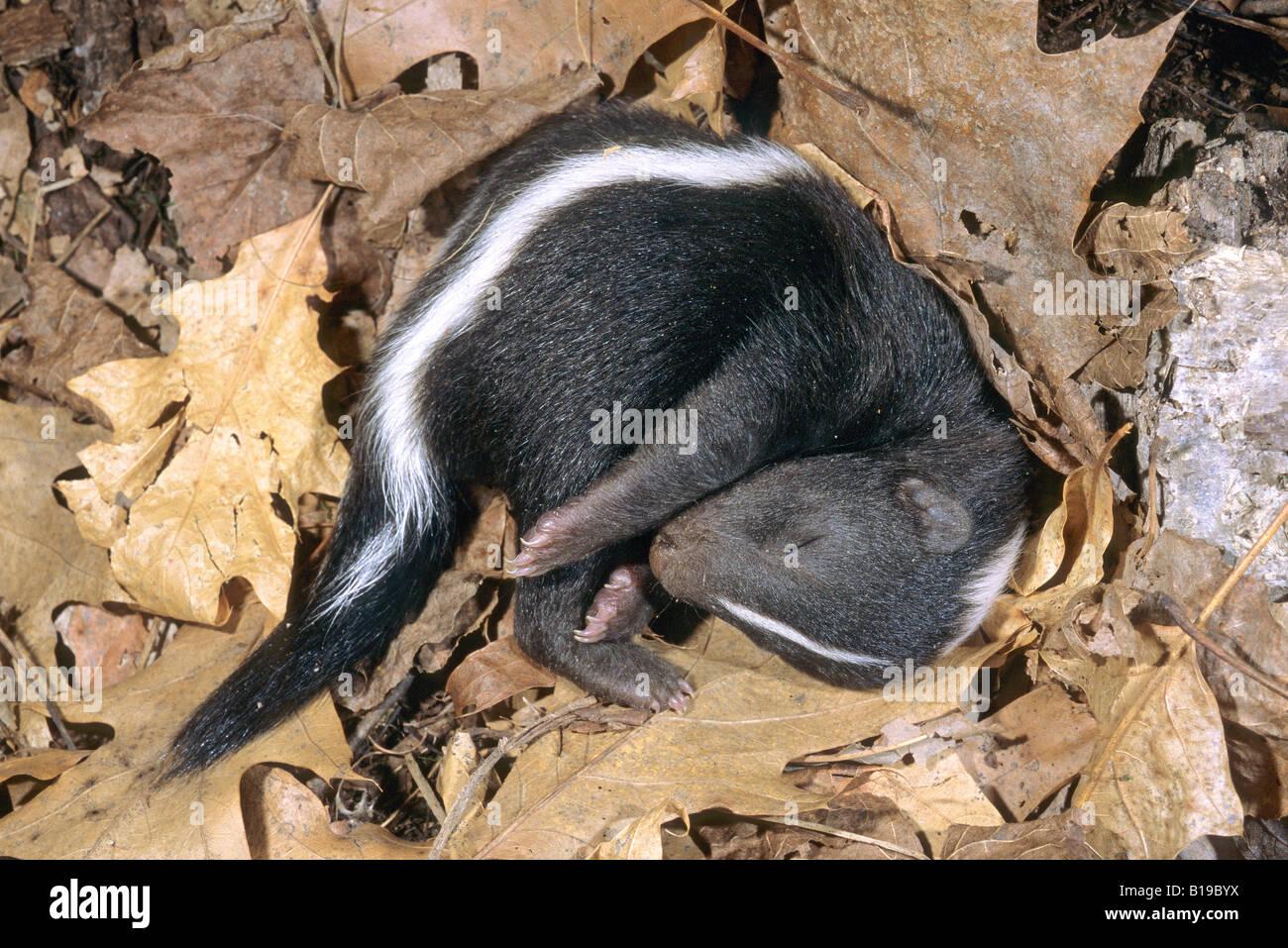 Neonato skunk striato (Mephitis mephitis) snoozing nella famiglia natal den, Minnesota. Immagini Stock