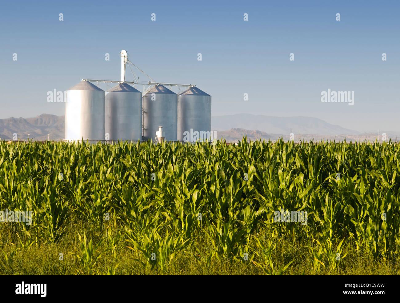 Il raccolto di mais con sili di fattoria e le montagne sullo sfondo Immagini Stock