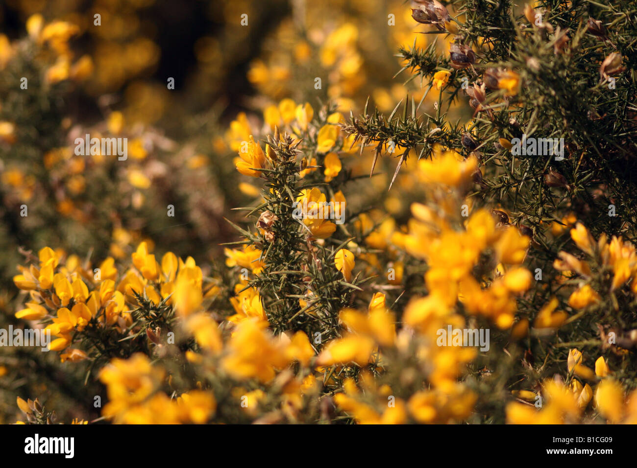 Wild Gorse giallo su Greenham Common Airbase Immagini Stock