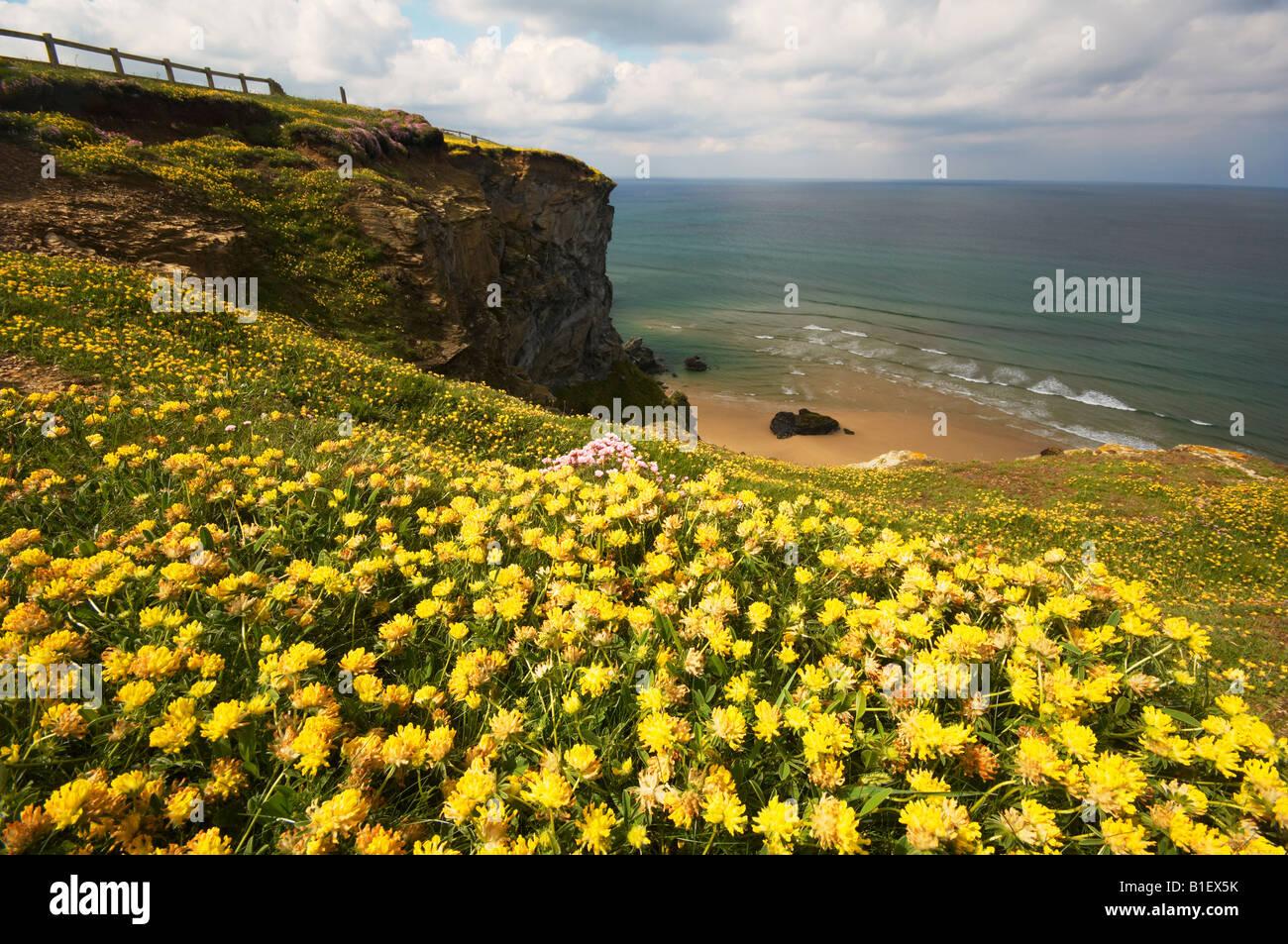 Fiori di campo crescente sul clifftops a Bedruthan Steps Carnewas Cornwall Regno Unito Foto Stock