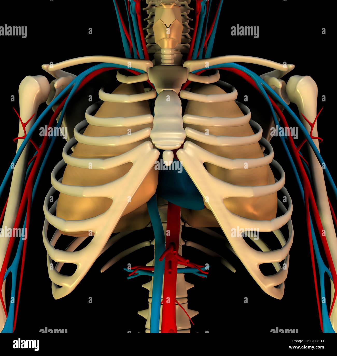 Anatomia circolazione cuore polmoni Immagini Stock