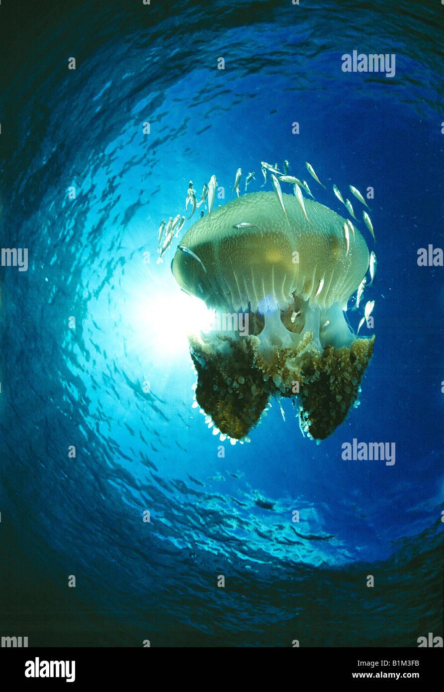 La fauna selvatica, meduse, Thailandia, Immagini Stock