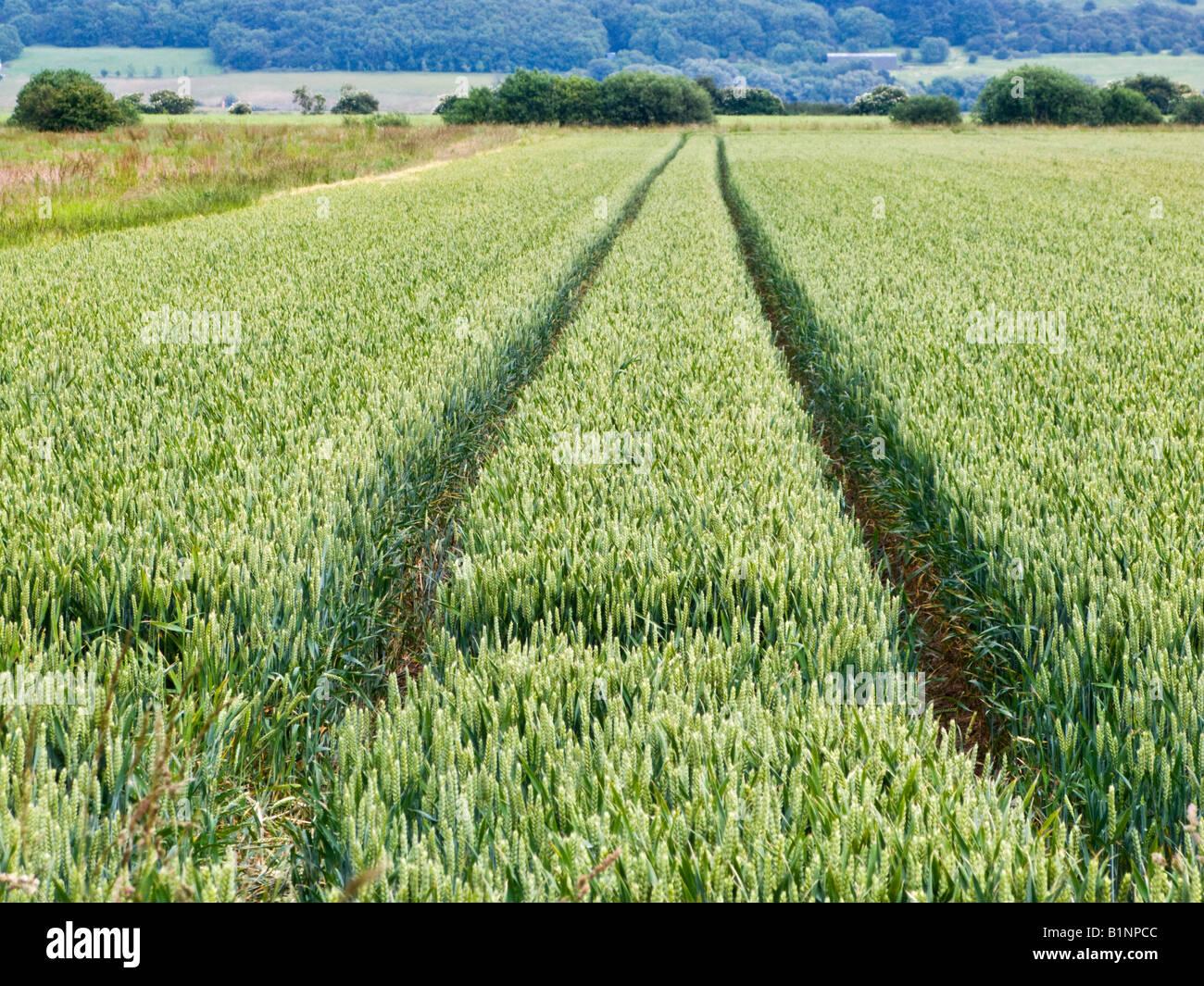 Le linee del trattore in un campo di grano in tarda primavera / estate precoce, farming REGNO UNITO Immagini Stock