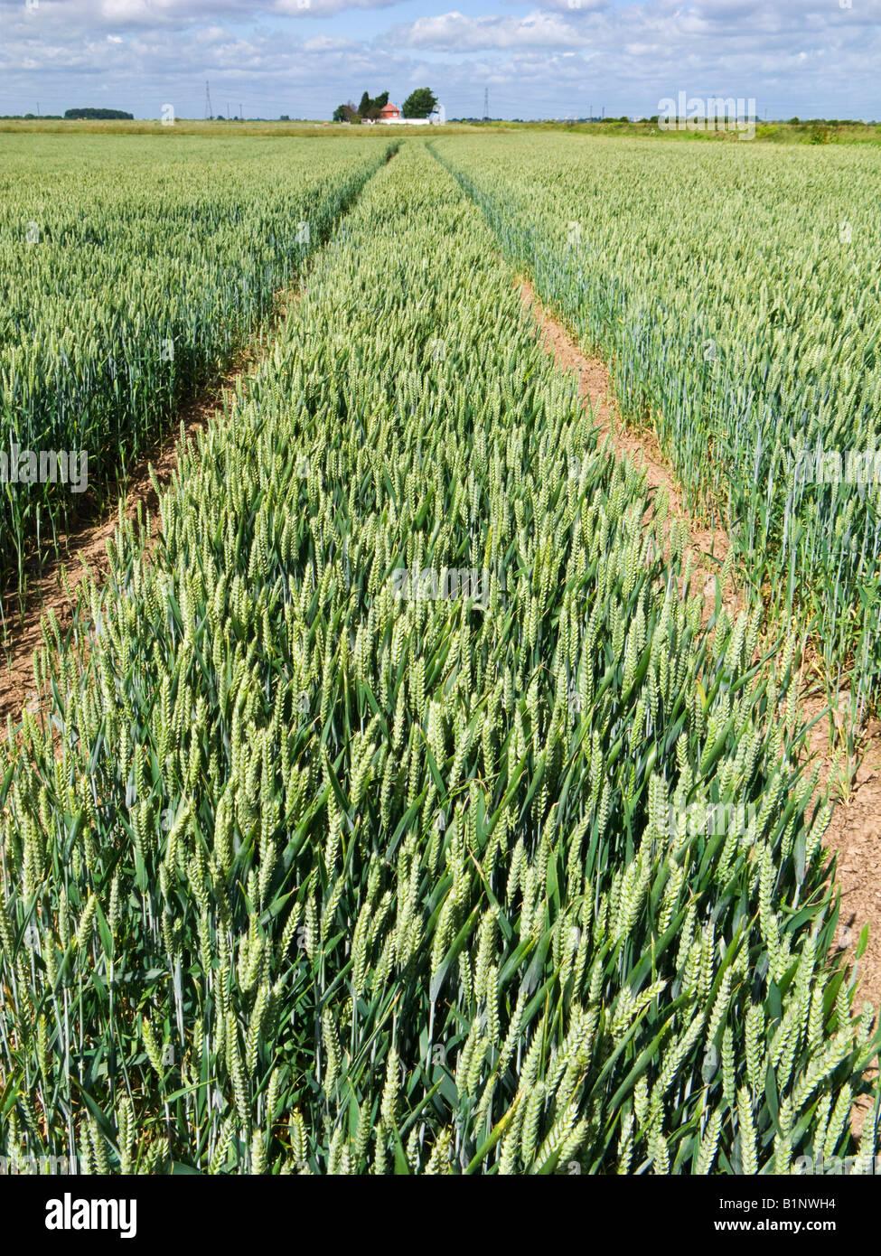 Le linee del trattore in un campo di grano in tarda primavera / estate precoce, England, Regno Unito Immagini Stock