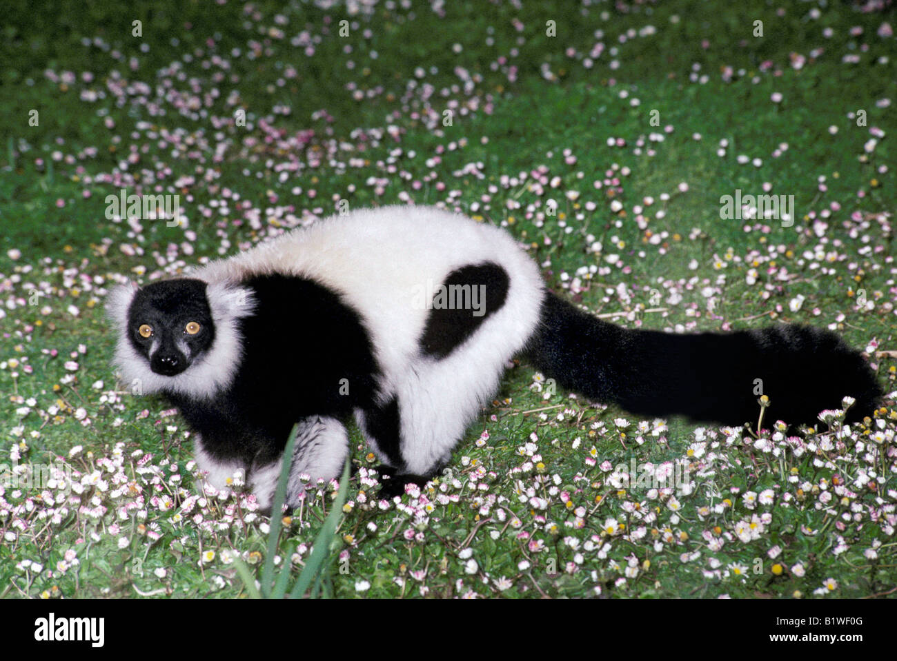 Bianco e nero lemure Ruffed Varecia variegata variegata Schwarz weisser Vari lato Madagascar Le mur variegatus Varecia Foto Stock