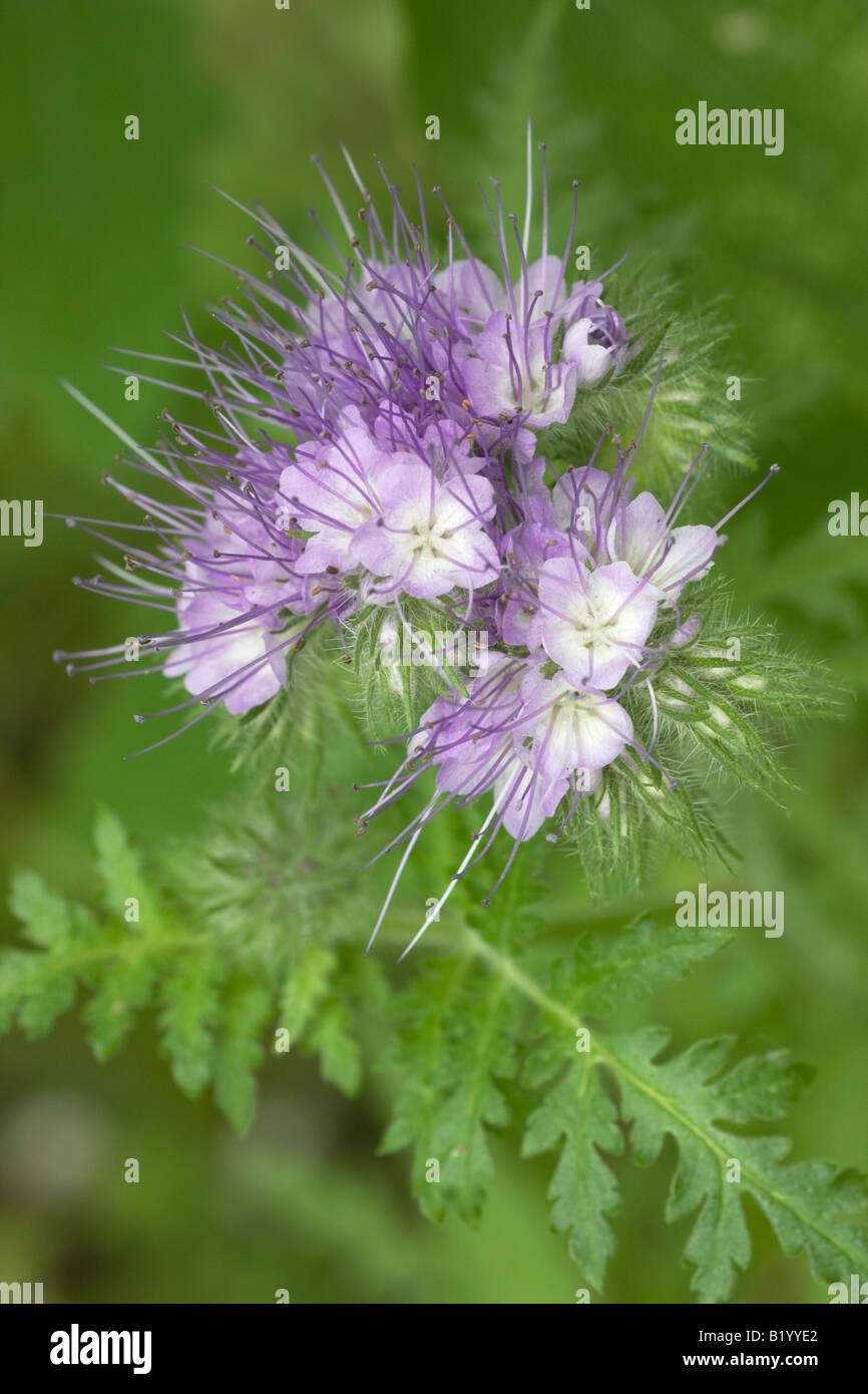 Phacelia Scorpionweed Fiori La Pianta è Usato Come Concime Verde