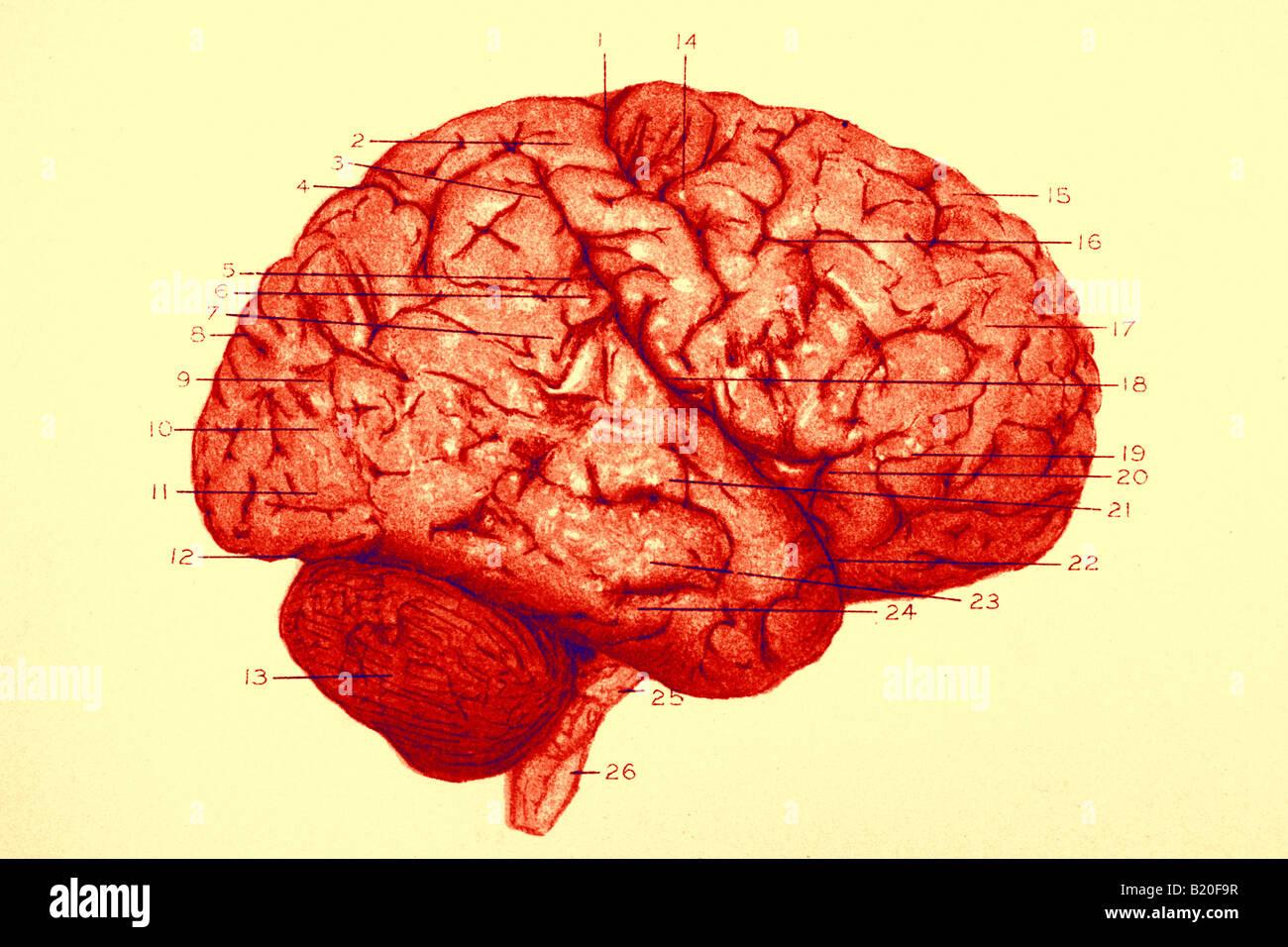 Illustrazione convoluzioni emisfero destro del cervello Immagini Stock