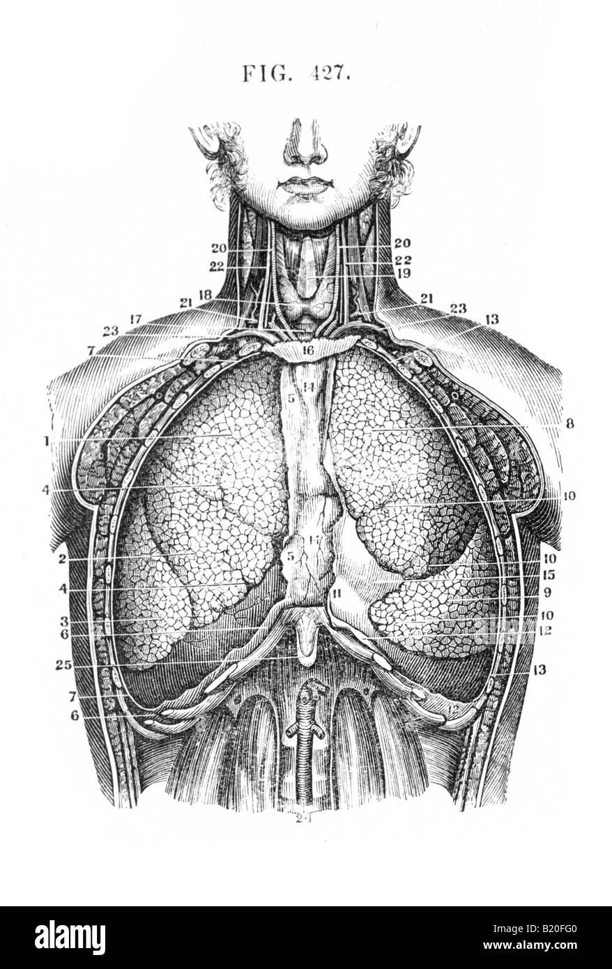 Illustrazione visceri toracica vista anteriore Immagini Stock