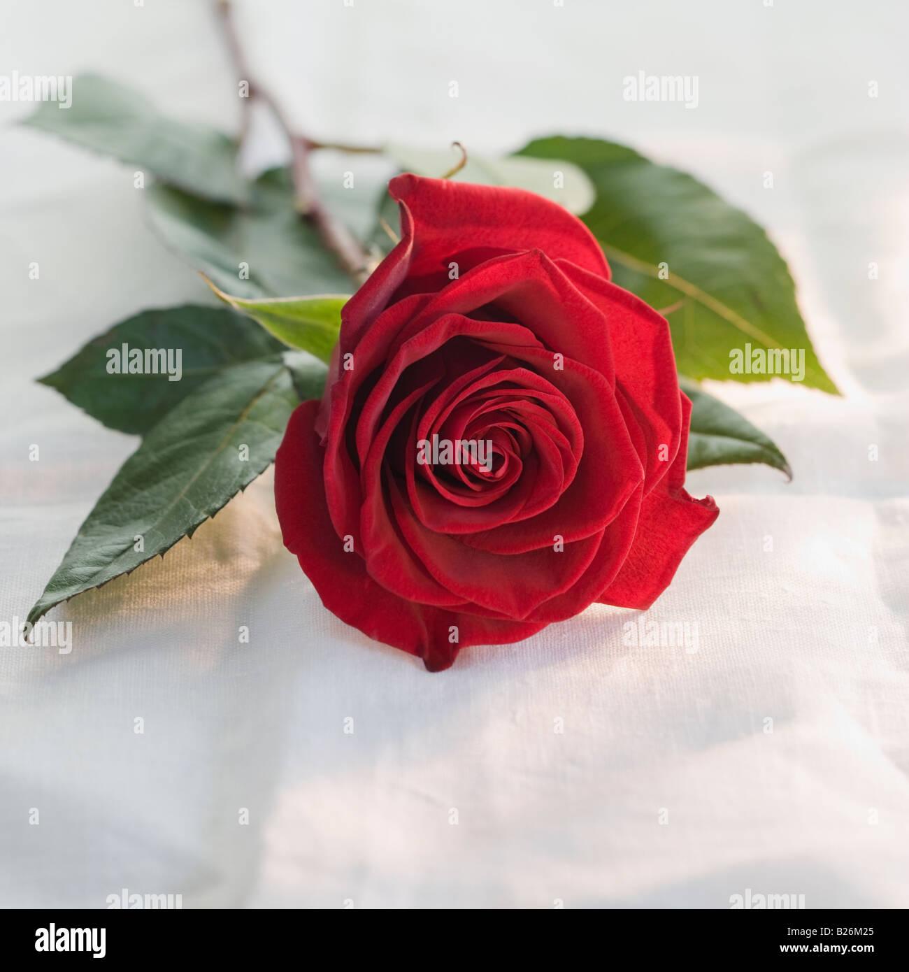 Close up di rosa Immagini Stock