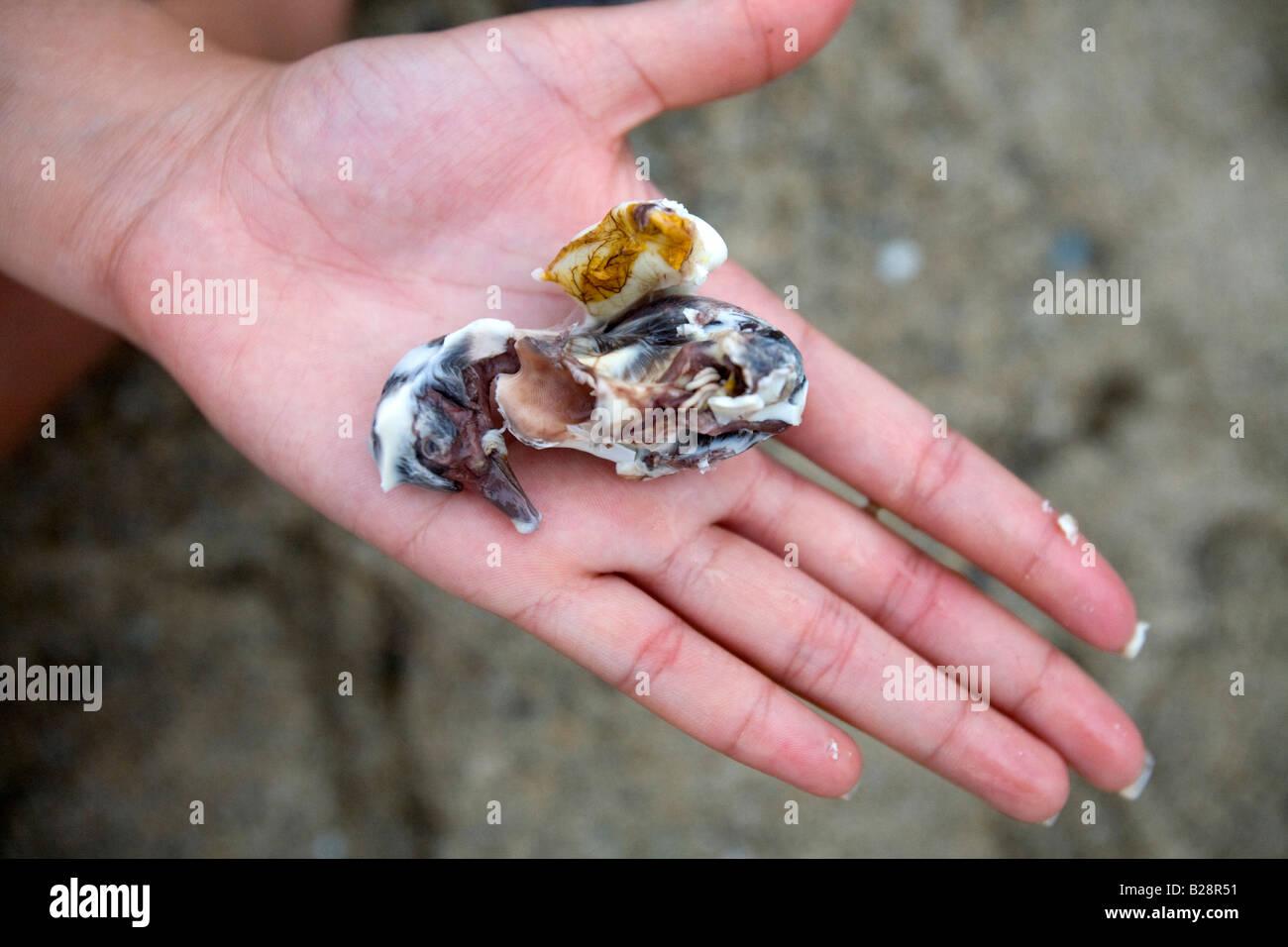 Un Filipina detiene un embrione di anatra rimosso da un balut in Puerto Galera, Oriental Mindoro, Filippine. Immagini Stock