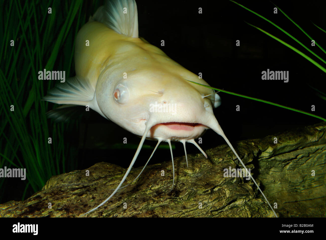 Pictures of albino channel catfish