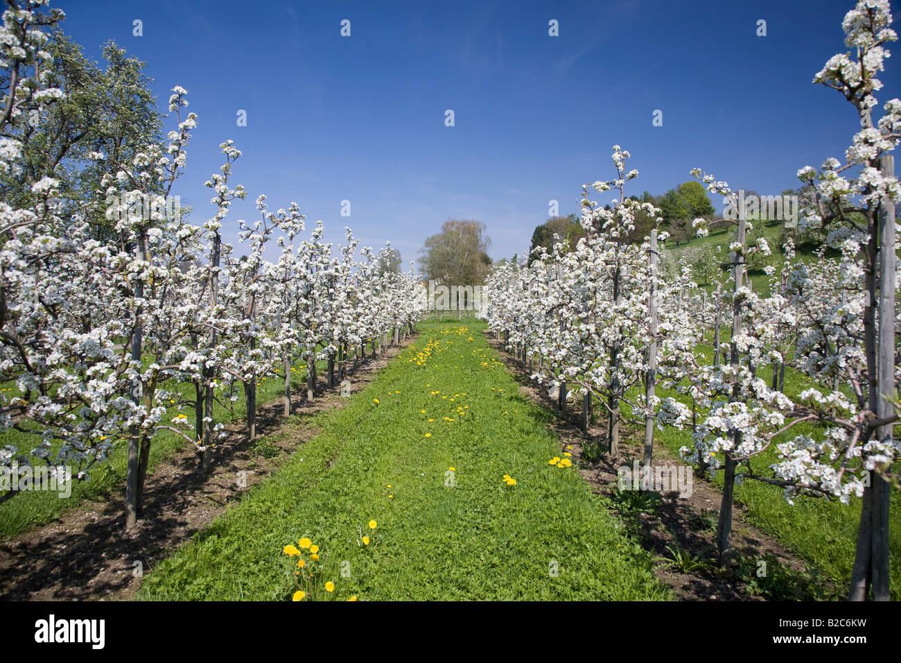 Foto Di Alberi Da Frutto alberi da frutto potatura di alberi da frutta in fiore